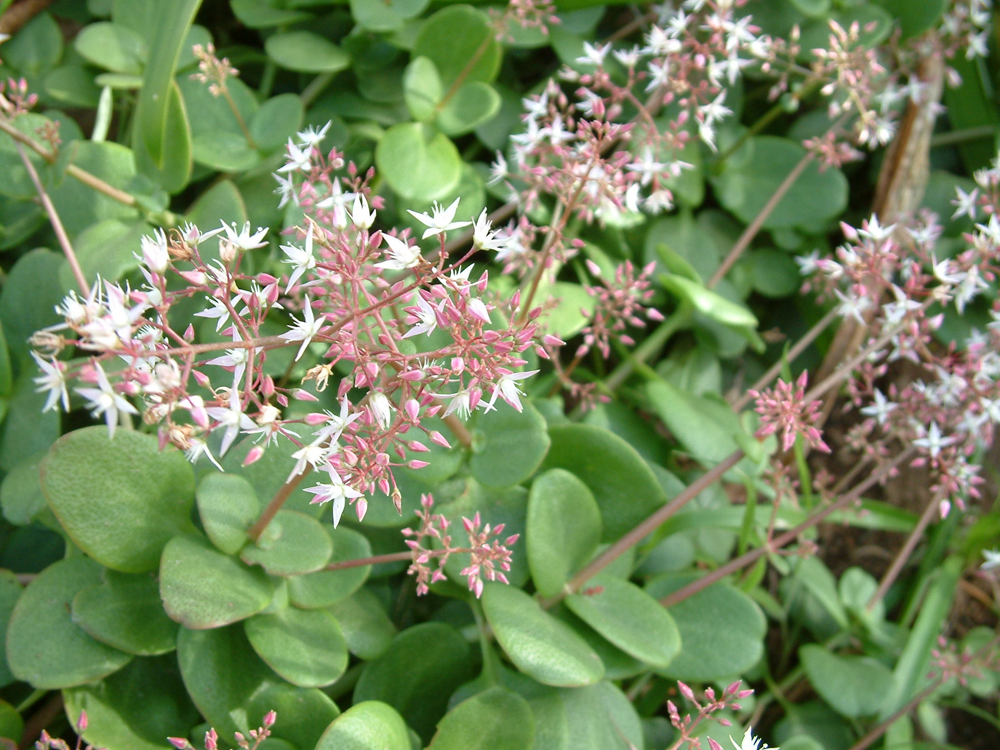 Like falkia repens ground cover an extremely low for Perennial ground cover with pink flowers